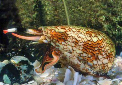 Veneno de caracol marinho pode ser usado como analgésico a partir da Nanociência